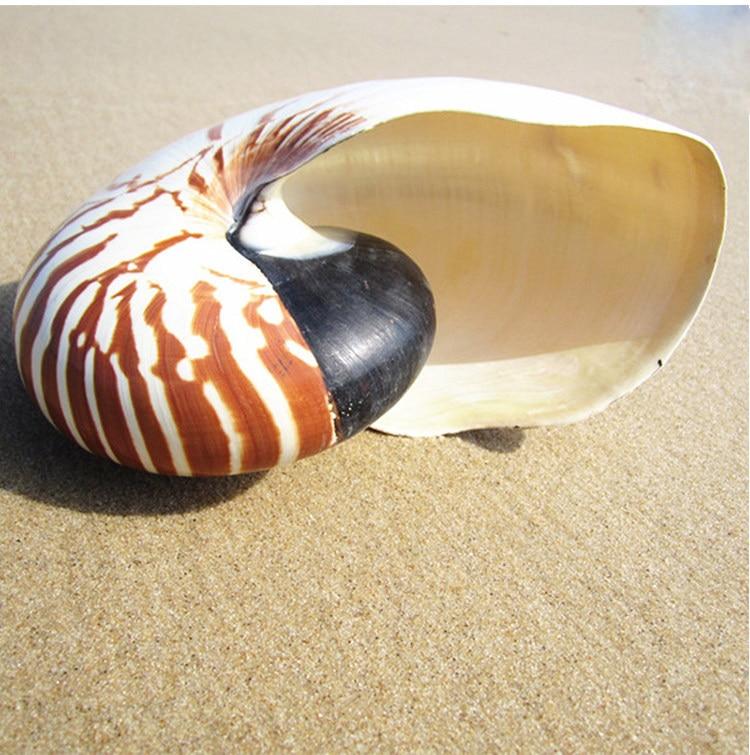 8-19CM 2020 Pearly Four big Famous Screw Nautilus Conch Shells Coral Collectible Mediterranean Aquarium Ornaments Sea Snail
