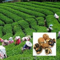 New Crop 20 Pcs Chinese Green Tea Tree Seeds Fresh CAMELLIA SINENSIS SEEDS Green Tea Plant