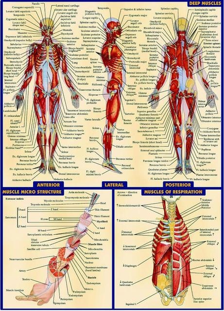 Free Shippinghuman Body Anatomical Chart Muscular System Fabric