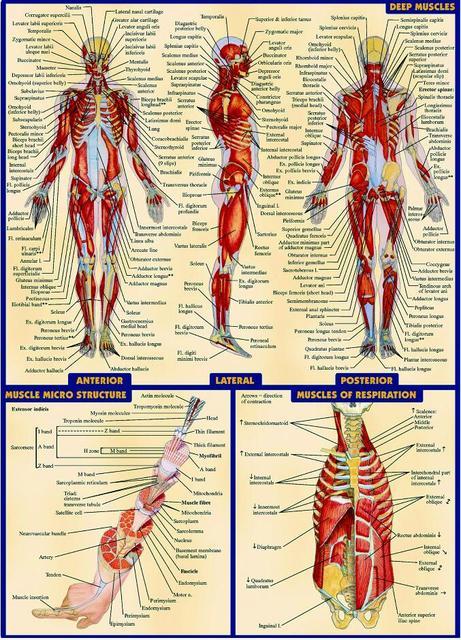 Freies verschiffen, Menschlichen Körper Anatomischen Diagramm Muskel ...