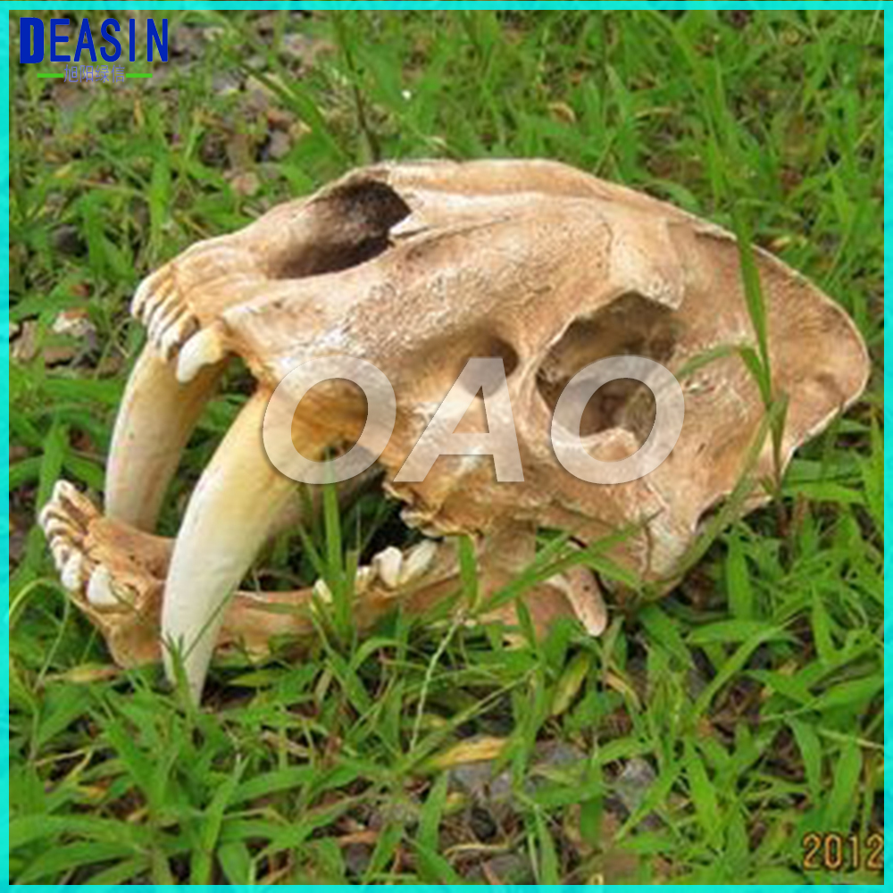 LAB American Ancient Animals 1:1 High Quality Saber Tooth Tiger Skull Sabertooth Smilodon Fatalis Model Human Anatomy