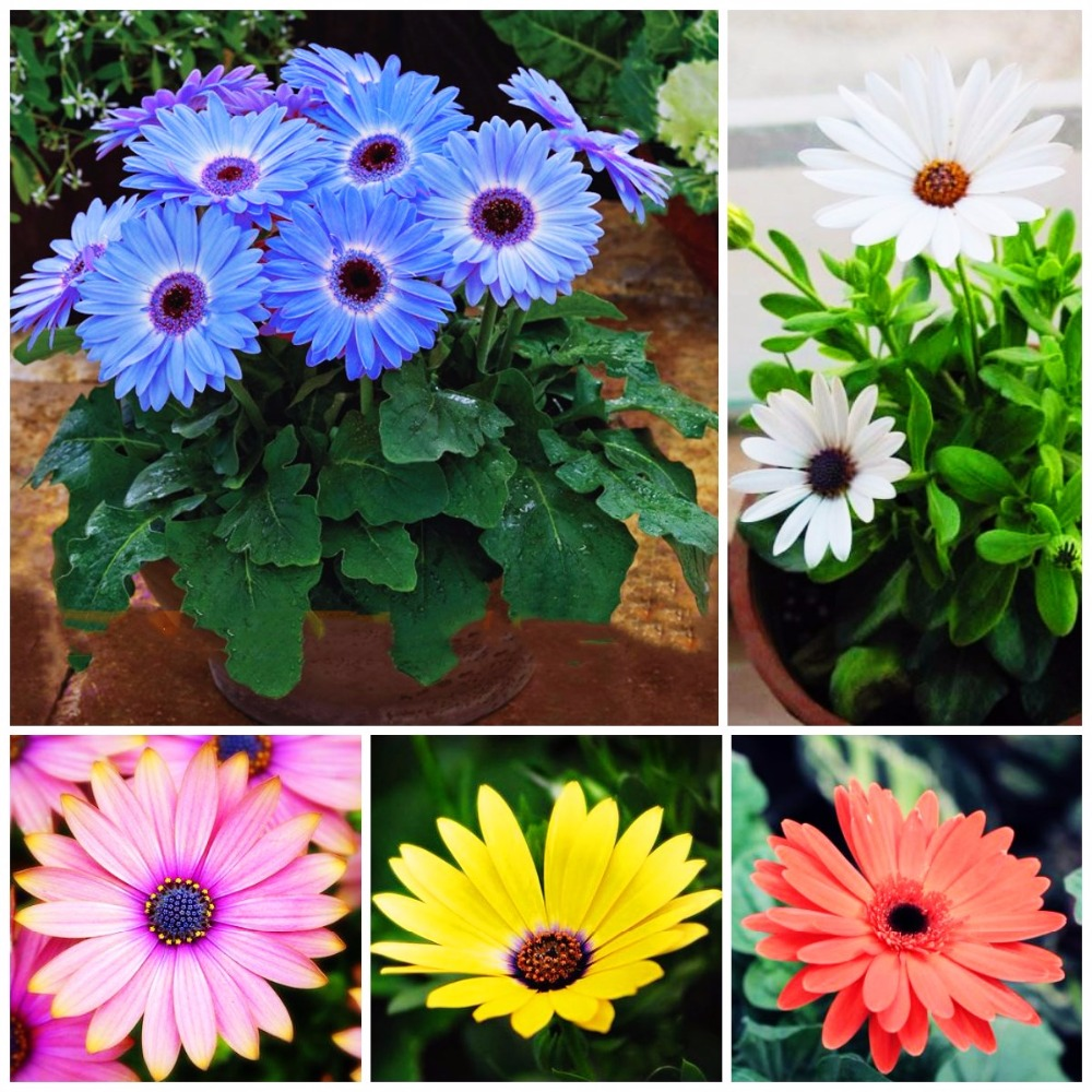 100pcsbag blue halo gerbera daisy seeds early spring fragrant 100pcsbag blue halo gerbera daisy seeds early spring fragrant flower seeds bellis perennis perennial indoor flowers plants in bonsai from home garden on izmirmasajfo Images