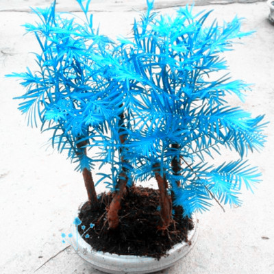 120PCS Light Blue Colored Pine Trees Seeds Indoor Perennial Trees DIY Home Garden Japanese Bonsai Pot Plants Seeds