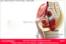 MALE/FEMALE REPRODUCTIVE SYSTEM MODEL ANATOMY OF THE MALE REPRODUCTIVE SYSTEM ,MALE GENITOURINARY SYSTEM MODEL-GASEN-SZ008