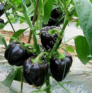 Black Sweet Pepper Seeds Balcony Potted Organic Vegetable Seeds Chili Pepper Seeds 100 Particles Potted Plant ...