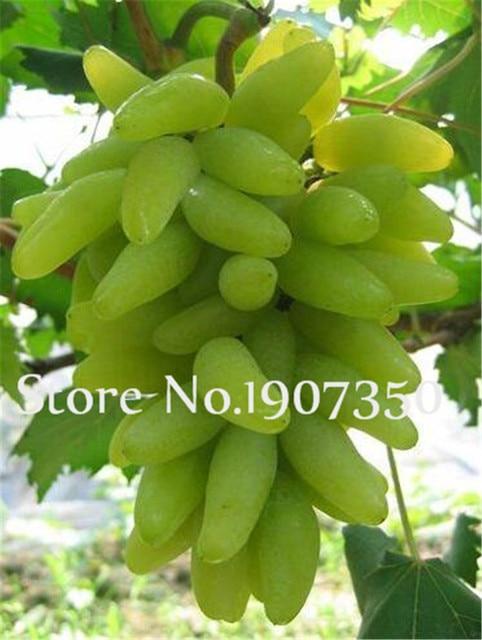 Vendita calda! 100 pz Più Particelle di Estate Nero Uva bonsai Avanzata Frutta flores Crescita Naturale Uva Giardinaggio bonsais planta