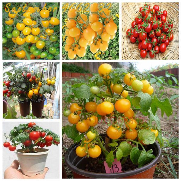 Big Promotion 100Pcs Greek Tomatoes Bonsai Giant Monster Tomato Bonsai Heirloom Sweet Gardening Plants Cherry Tomato Bonsai Tree