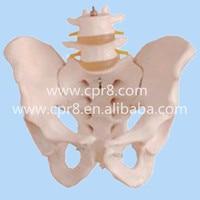 BIX-A1027 실물 크기 인간 골반 모델 2 허리 척추 모델 MQ167