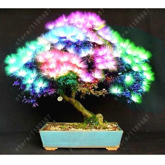 20 pcs/bag Acacia tree seeds, (albizia julibrissin) , bonsai flower seeds Perennial indoor plant for home garden