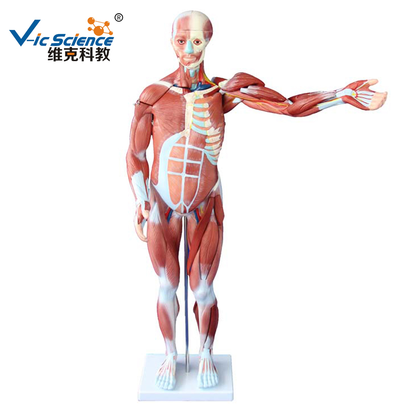 Medical Supplies PVC Teaching 80cm Human Muscle Anatomy Model 27 parts for StudentsMedical Supplies PVC Teaching 80cm Human Muscle Anatomy Model 27 parts for Students
