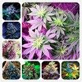 Exóticas Sementes 100 pcs Sementes de Cânhamo Orgânico Da Erva Da Planta Sementes De Flores Raras Presentes Flores Perenes Jardim Casa Bonsai 2016 nova