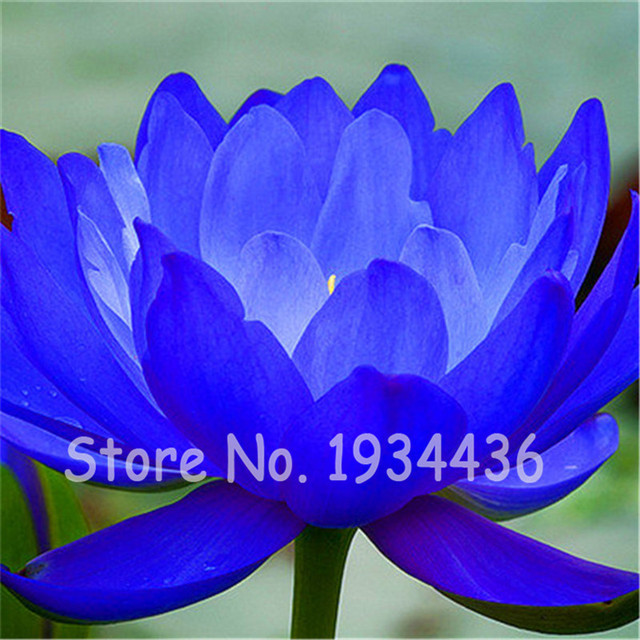 New 10 Pcs Rare Blue Lotus Flower Water Lily Hydroponic Plants Home