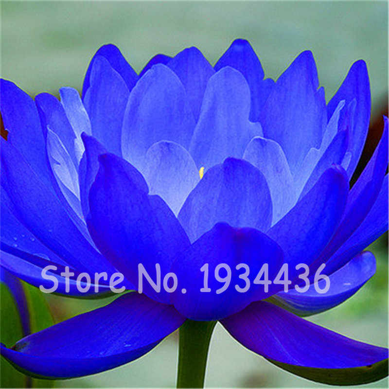 Detail Feedback Questions About New 10 Pcs Rare Blue Lotus Flower