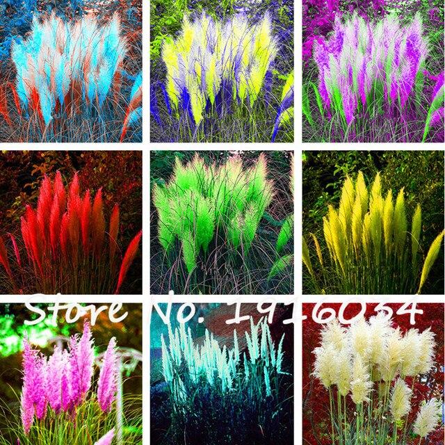 Schön Garten günstige 200 stücke bunte pas gras cortaderia samen sind sehr