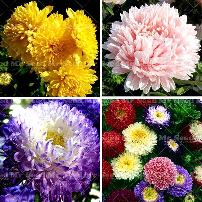 200pcs/bag aster seeds aster flower bonsai flower seeds rainbow chrysanthemum seeds Perennial flowers plant for home garden