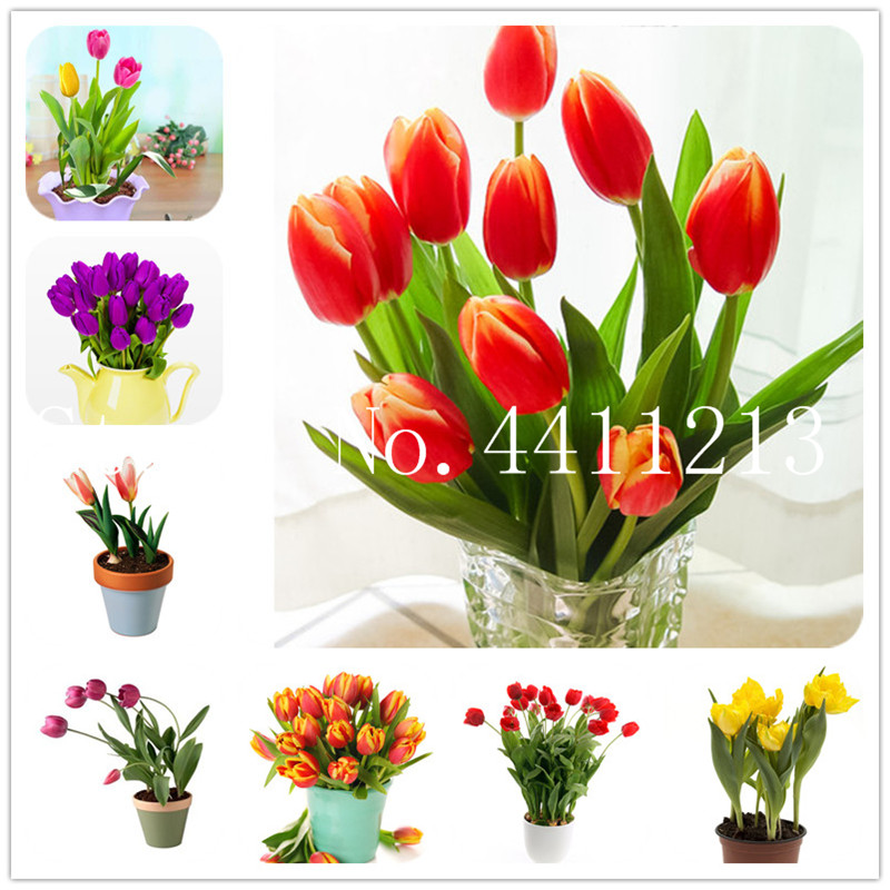 Hot Sale Mini Tulip Flowers Bonsai Tulip Flower Plants Beautiful Aromatic Plants For Home Garden (Not Tulip Bulb) 100 Pcs