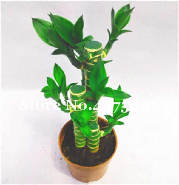 ترقية! 30 مصغر Moso بامبو بونساي لاكي بامبو بونساي حديقة النبات بوعاء شرفة معدل مهدها 95% لتقوم بها بنفسك لحديقة المنزل