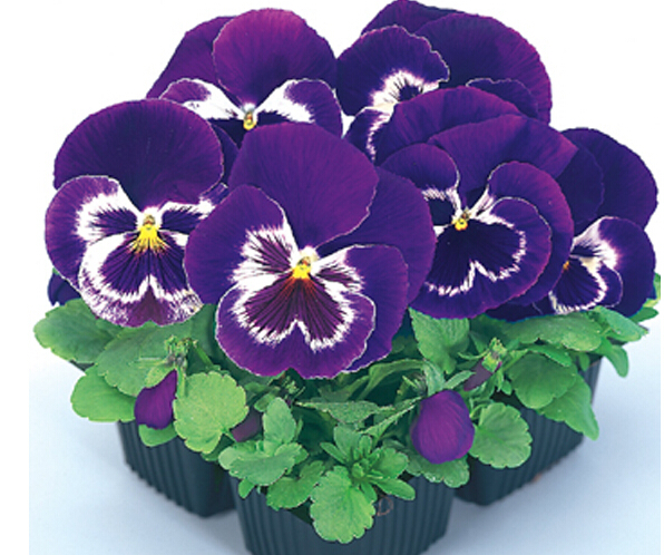 Viola pansy bonsai 200 pcs pansy rare plants Home Garden Plant Indoor Bonsai yard Flower Free shipping Hot selling easy grow in Bonsai from Home Garden