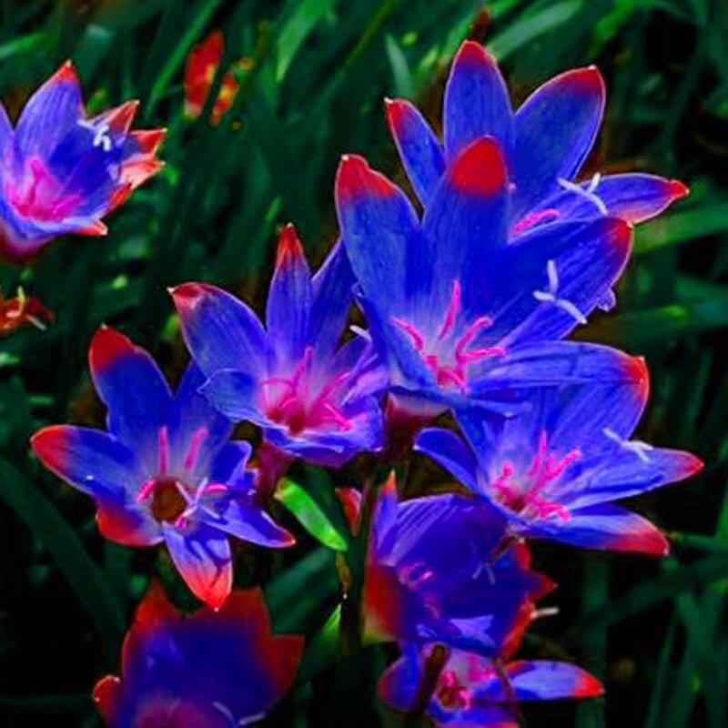 Zlking 2 Bulbs Multiple Colour Zephyranthes Candida Bulb Zephyranthes Candida Bonsai Flower Bulbs Outdoor Plant Natural Growth Home & Garden Garden Supplies