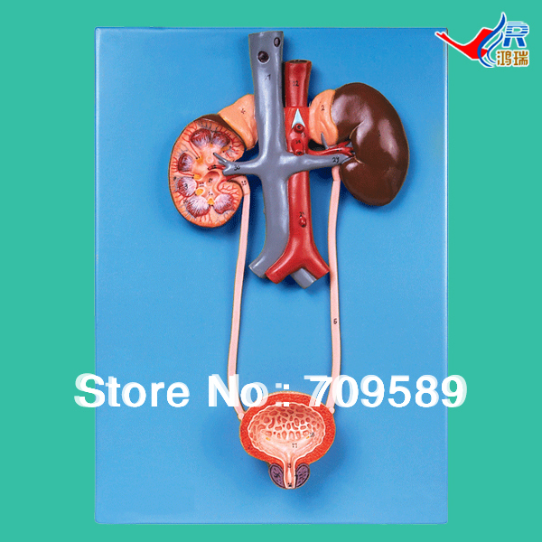 ISO Detailed Anatomical Urinary System Model human anatomical male genital urinary pelvic system dissect medical organ model school hospital