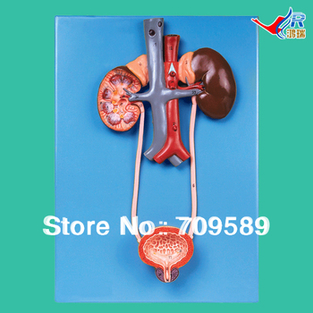 ISO Detailed Anatomical Urinary System Model