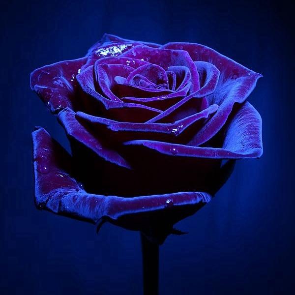 20 Pcs Bag Midnight Supreme Rose Flower Seeds Plump