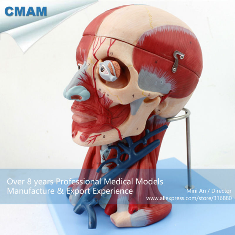 Cmam12309 Muscle Neck 10 Parts In Medical Science From Office