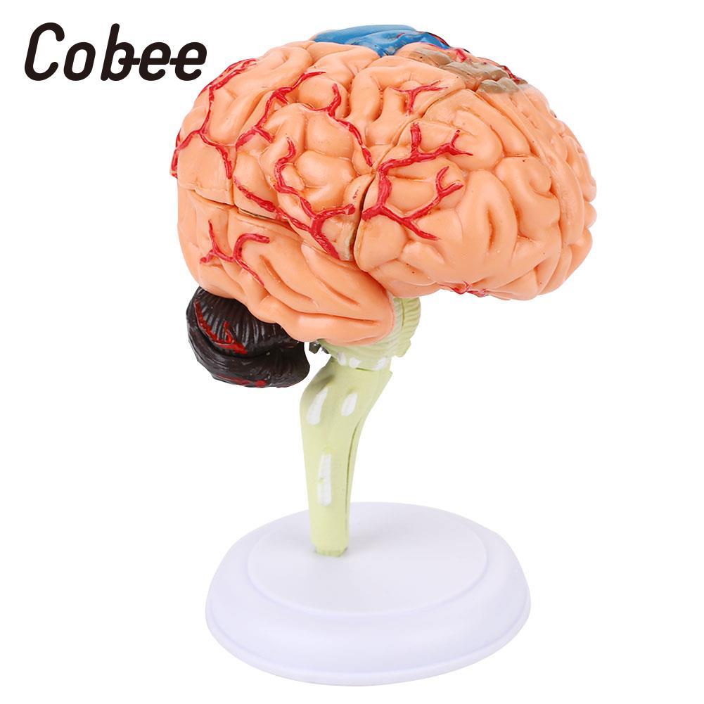 Human Brain Model Medical Teaching Model Brain Anatomy Model 4D Detachable Visual Scientific Durable PVC