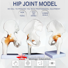 Medical teaching supplies Anatomy biological structure human life size Hip joint  model