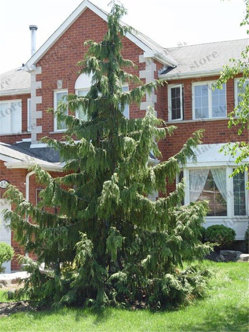 Image 3 - 100 PCS/bag Sacred Japanese Cedar bonsai ornamental tree for home garden-in Bonsai from Home & Garden