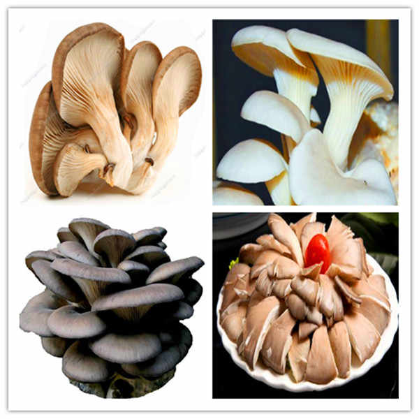 Delicious Mushrooms bonsai, 2000 Pcs Vegetable plants Rare Pleurotus Mushroom Strains Geesteranus bonsai Easy Growing DIY Garden