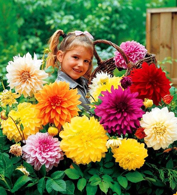 20 Pcs/bag Multi Color Dahlia Seeds, Dahlia Flower, Bonsai Flower Seeds For Home  Garden Plant Pot High Sprouting Easy Grow