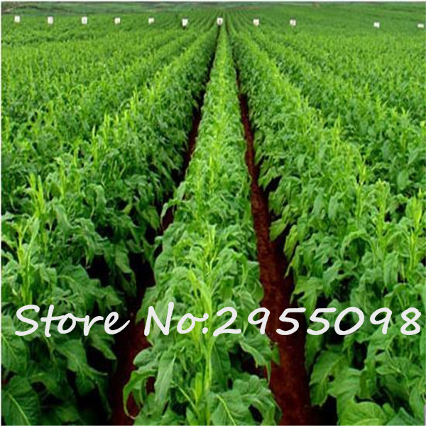 200 PCS Giant Flowering Tobacco Seed Beautiful Garden Flower Seeds Drought  Resistance Plants Easy To Grow Gifts For Father