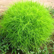 Sementes Semillas Seeds Direct Selling None Home Can Be Mixed Batch Of Cool Expression Seed Gardening Kochia Scoparia 1/bag