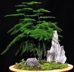 20 Bag Asparagus Fern Seeds Indoor Potted Bamboo Plants Hydroponics Clean Air Evergreen Free Shipping