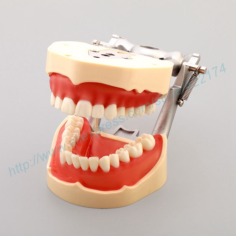 Free Shipping Standard dental model tooth teeth model dentist dentistry anatomical anatomy model odontologia dh202 2 dentist education oral dental ortho metal and ceramic model china medical anatomical model
