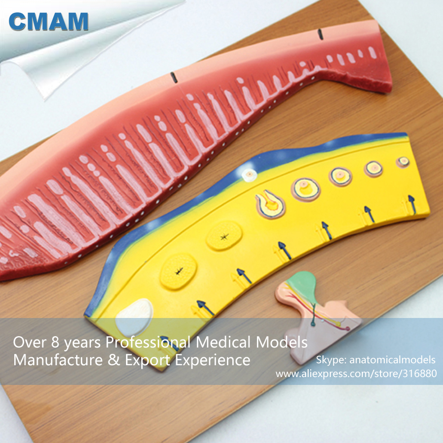 12474 CMAM-ANATOMY36 Female Menstrual Cycle Change Demonstration Model menstrual cycle model synchronism of ovarian and endometrial changes