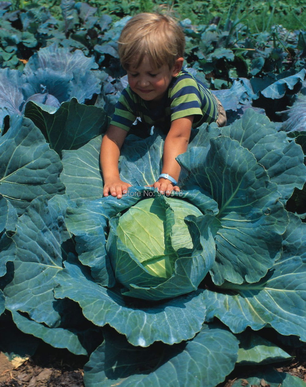 200pcs Giant Russian Cabbage Seeds Vegetable Seeds High Quality Vegetable Nice