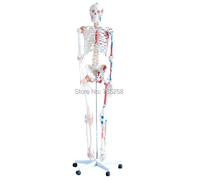 Skeleton with Muscles and Ligaments 180cm Tall,The human skeleton with ligament model bix a1005 human skeleton model with heart and vessels model 85cm wbw394