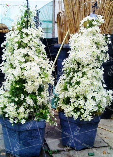 20PCS Rare Bonsai Climbing Jasmine beautiful white flowers Perennial indoor or outdoor potted plant decorated home garden plants climbing vine around window