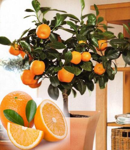 Fruit Seeds Orange Tree Dwarf Washington Navel Grow Indoors Or Outdoors 30pcs Aa In Bonsai From Home Garden On Aliexpress Alibaba Group