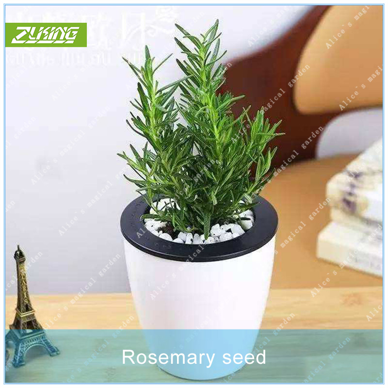 100PCs Rosemary Herb Seeds Rosmarinus officinalis Medical Plants Bonsai Potted