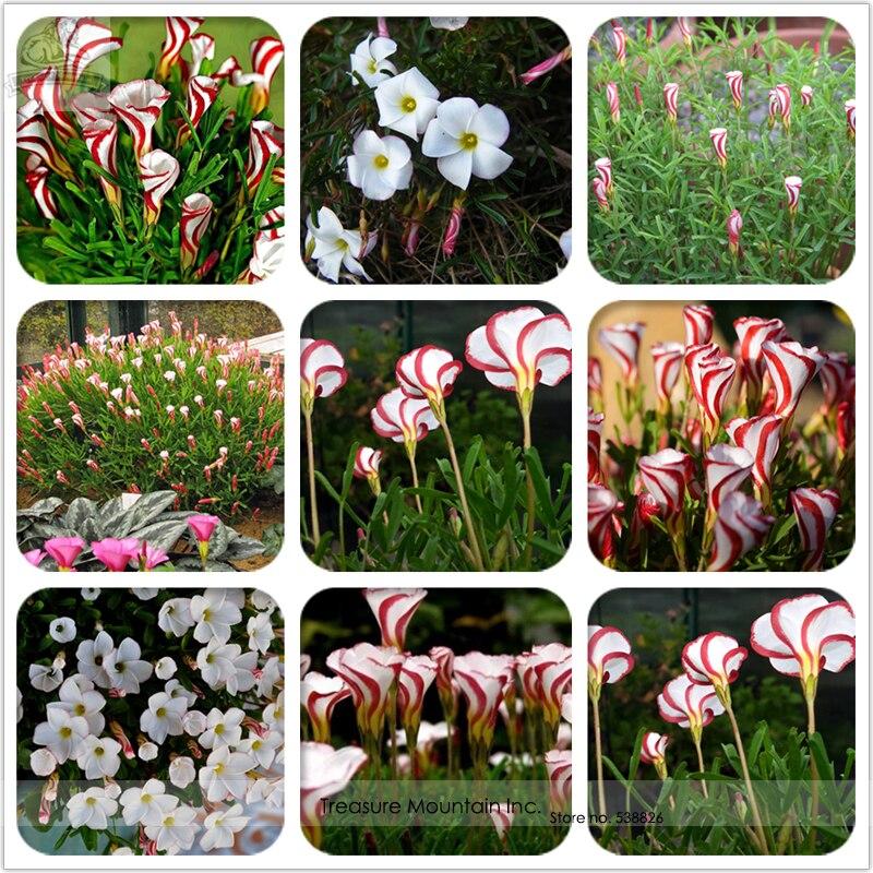 oxalis versicolor semillas