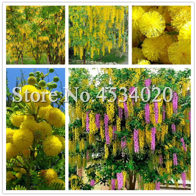 100 Pcs Golden Mimosa Acacia Baileyana Yellow Wattle Tree Bonsai
