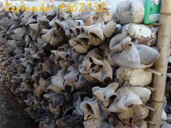 100 قطعة الصينية الفطر بونساي ، الأخضر صحي فطر النبات ، لذيذ الخضار حديقة ، نادر الأسود الفطر فطر أسود بوعاء