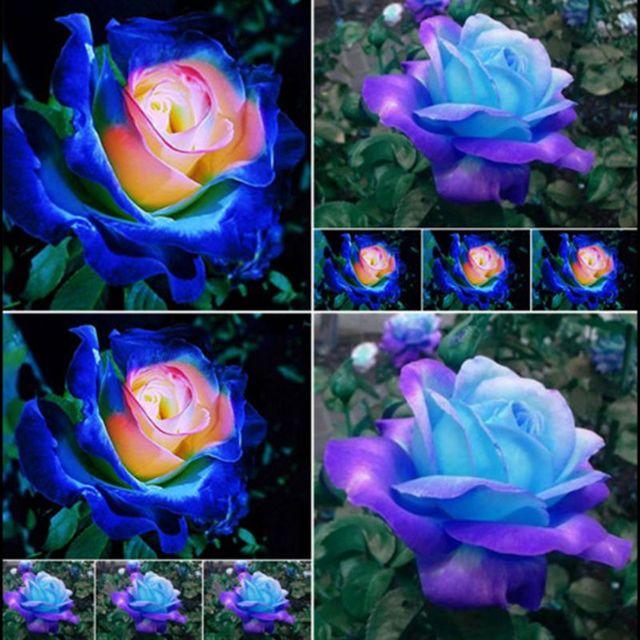20 Pcs Rare Bleu Rose Rose Graines Couleur Ss Magnifique Fleur Decor
