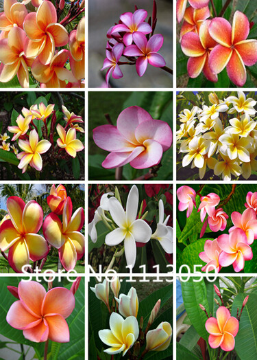 100pcs Perennial Plumeria Seeds World Hottest Flower Seeds Garden Bonsai Seeds mix colors Free Shipping
