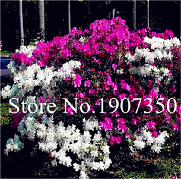 Garden Flowers Seedsplants 100 Pcs White And Pink Azalea Plantas Bonsai Floresling Flowers Diy The Best Gift For The Child Garden Pots & Planters