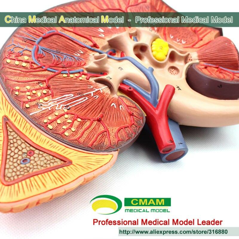 CMAM] Medical Version Vergrößern Menschlichen Niere Modell Anatomie ...
