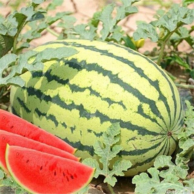 Ленивый дыня Король арбуз бонсай красное мясо Сад овощи для выращивания на балконе 10 шт